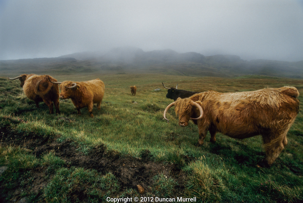 Highland cattle near the track from Kinloch to Harris below Askival. The weather could be quickly changeable and bleak while I was on Rum, even though it was still late summer. The misty moorland conditions reminded me very much of being on my local moorland area of Dartmoor in Devon, but instead of shaggy highland cattle, Dartmoor has wild ponies and shaggy versions of other breeds of cattle, although there are a few highland cattle on Dartmoor too. I didn't see that many highland cattle on Rum but a lot more red deer there. They have been the subject of research there for many years. It has been important in the development of socio-biology and behavioural ecology. In addition to its status as a nature reserve, Rum was designated a Biosphere Reserve from 1976 to 2002, a Site of Special Scientific Interest on 1987, and has 17 sites scheduled as nationally important ancient monuments. Rum is also noted for its bird life. Its population of 70,000 Manx shearwaters is one of the largest breeding colonies in the world. These migrating birds spend their winters in the South Atlantic off Brazil, and return to Rum every summer to breed in underground burrows high in the Cuillin Hills. White-tailed sea eagles were exterminated on the island by 1912 and later became extinct in Scotland. A programme of re-introduction began in 1975, and within ten years 82 young sea eagles from Norway had been released. There is now a successful breeding population in the wild. My most memorable wildlife encounter on Rum was being able to watch one of these magnificent birds soaring upwards through the steep precipitous valley on the seaward side of Askival and Ainshval.