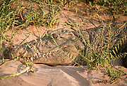 Crocodile, Kunene River, Hartmanns Valley, Northern Namibia, Southern Africa