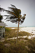 Coconut palm tree in windy weather on the shoreline at Anna Maria Island, Florida
