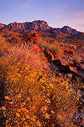 Desert Sunflowers and the Providence Mountains at Sunset,Mojave National Preserve, California