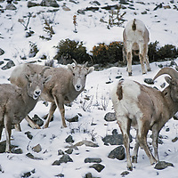 Bighorn sheep graze on snowy slope in Gallatin Range near Big Sky.