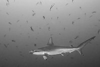 A Scalloped Hammerhead Shark looks for cleaner fish to remove dead skin and parasites.<br /> <br /> <br /> Shot at Cocos Island, Costa Rica