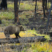 A female grizzly bear (Ursus arctos horribilis) pauses while foraging for plants in Yellowstone National Park.