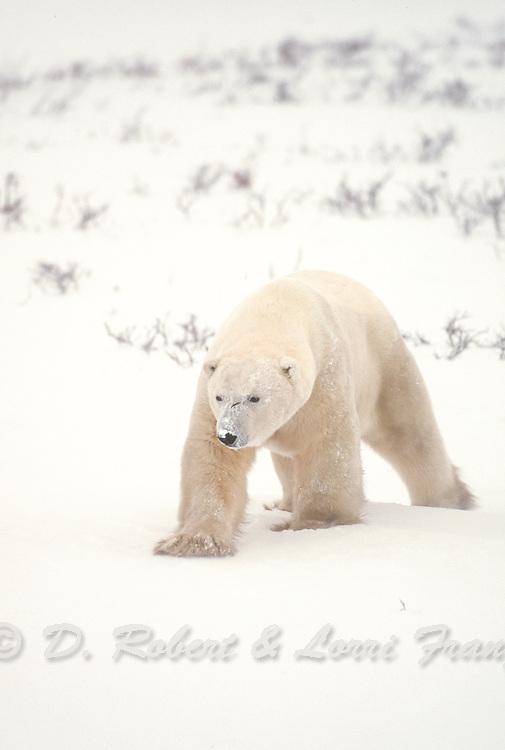Polar bear boar during winter in Canada