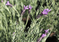 South Africa - Durban - 28 August 2020 - Lavender oil is believed to have antiseptic and anti-inflammatory properties, which can help to heal minor burns and bug bites. Research suggests that it may be useful for treating anxiety, insomnia, depression, and restlessness.<br /> Picture:Shelley Kjonstad/African News Agency(ANA)