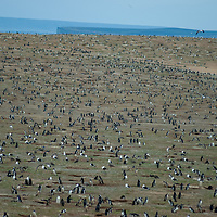 Magellanic Penguins nest in burrows on Magdalena Island in the Strait of Magellan, Chile.