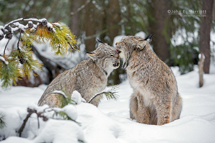 Wild lynx in Banff National Park