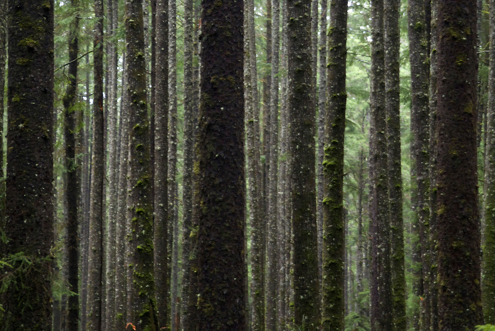 Old Growth Temperate Rainforest on the Trail to Third Beach, Olympic National Park, Washington, US