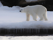 A polar bear (Ursus maritimus) walking along an icy edge of  shore lined with icycles, Spitsbergen, Svalbard, Norway