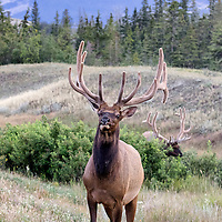 Leader of the bull elk group, this elk eats but keeps a wary eye on the humans gathering to photograph him. Jasper National Park, Canada