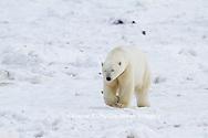 01874-13219 Polar Bear (Ursus maritimus) Churchill Wildlife Management Area Churchill MB