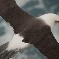 A Black-browed Albatross soars over the South Atlantic Ocean near South Georgia.
