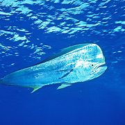 Dolphinfish also know as Mahi Mahi, male, inhabit open water in Tropical West Atlantic, also cirumtropical and subtropical; picutre from Nassau, Bahamas.