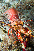 Rare Red Banded Lobster (Justitia Longimanus), St. Lucia.