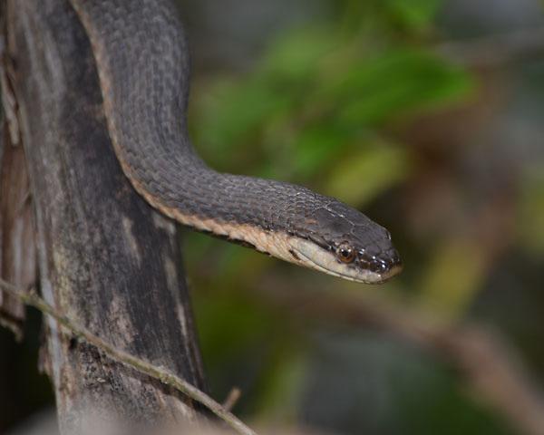 Black Snake at Raccoon Creek State Park