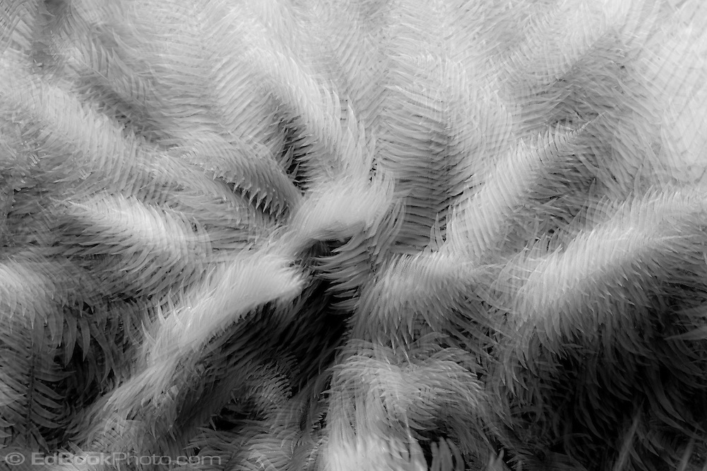 Western Sword Fern, (Polystichum munitum) Kitsap Peninsula, Puget Sound, Washington state, USA monochrome
