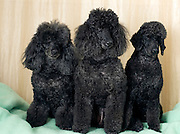 3 black miniature poodles sitting facing camera. Property release available