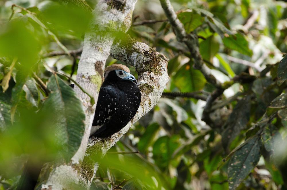 Common Piping-guan (Aburris pipile)<br /> Yasuni National Park, Amazon Rainforest<br /> ECUADOR. South America<br /> HABITAT & RANGE: Tropical forests of SE Peru, Amazonian of Bolivia, SW Brazil and NE Paraguay