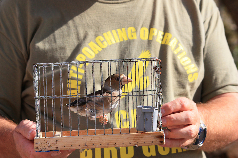 A Bird Guard from the Committee Against Bird Slaughter holds a wild caught Hawfinch (Coccothraustes coccothraustes), confiscated by police from an illegal trapping site in Malta. Every year thousands of birds are illegally caught during their annual migration between Europe and Africa