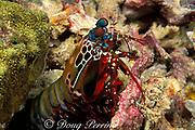 peacock mantis shrimp, Odontodactylus scyllarus, removes piece of coral from burrow, Surin Islands, Thailand ( Andaman Sea, Indian Ocean )
