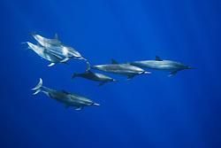 Long-snouted Spinner Dolphins, Stenella longirostris, off Kona Coast, Big Island, Hawaii, Pacific Ocean.