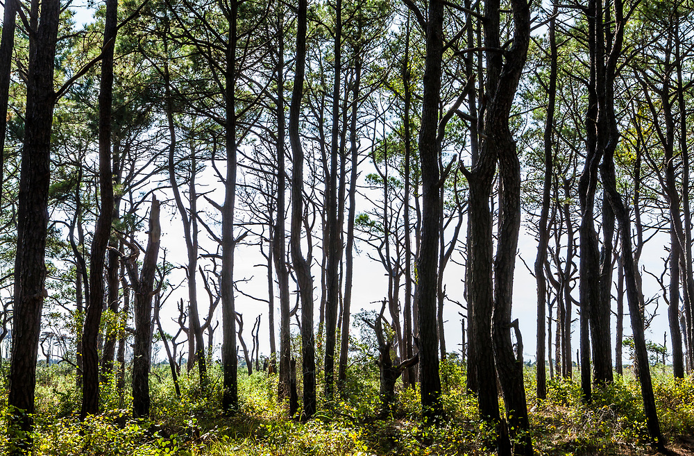 Looking at a forest of loblolly pines on a nature walk in Assateague Island National Seashore on the inner bay, Maryland, USA.