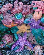 Sea Stars and Anemones,Phillip Burton Wilderness, Point Reyes National Seashore, California