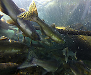 Pink Salmon sitting in a small pool on their way up the Dungeness River to spawn. (Steve Ringman / The Seattle Times)