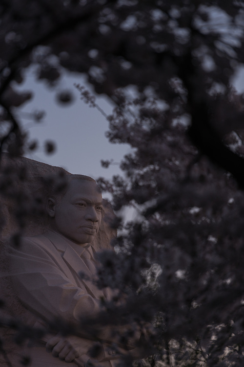 Cherry blossoms surround the Martin Luther King Jr. Memorial on the rim of Tidal Basin at dawn on Monday, April 13, 2015 in Washington, D.C.