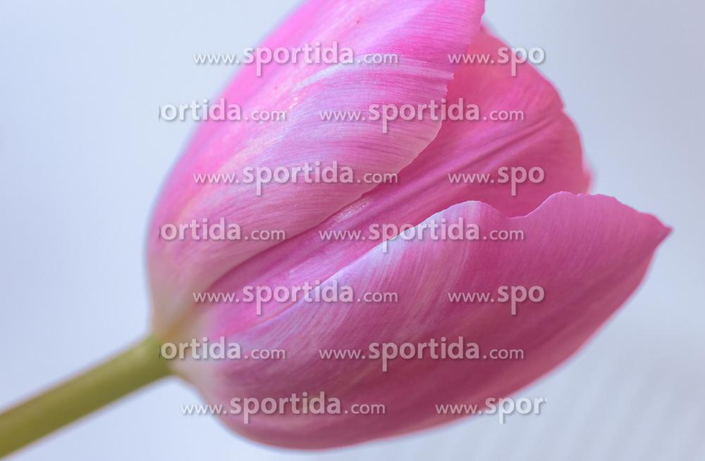 THEMENBILD - ein Detail einer pinken Tulpe, aufgenommen am 15. März 2018, Kaprun, Österreich // the calyx of a pink tulip on 2018/03/15, Kaprun, Austria. EXPA Pictures © 2018, PhotoCredit: EXPA/ Stefanie Oberhauser