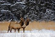 Elk  or wapiti (Cervus canadensis)  in meadow on Minnewanka Road in Banff National Park<br />Banff National Park<br />Alberta<br />Canada
