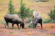 Fighting Bull Moose along Powerline Pass in Chugach State Park near Anchorage, Alaska