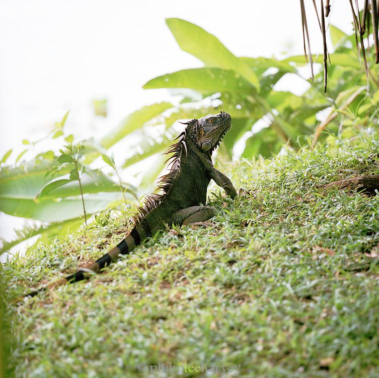 Green Iguana in rainforest at the Tortuguero National Park, East Coast, Tortuguera, Limon, Costa Rica