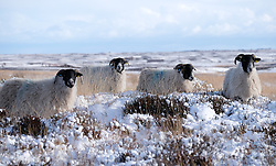 © Licensed to London News Pictures. <br /> 29/01/2015. <br /> <br /> Danby, United Kingdom<br /> <br /> Sheep look for food in the heather near Danby in North Yorkshire following heavy overnight snow. A wintery blast causing extremely cold weather is expected to cause some disruption over the next few days.<br /> <br /> Photo credit : Ian Forsyth/LNP