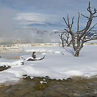 Steam rises around trees killed by shifting geothermal activity at Mammoth Hot Springs, Yellowtone National Park, Wyoming