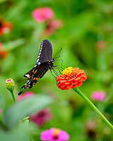 Spicebush Swallowtail Butterfly. Image taken with a Fuji X-T2 camera and 200 mm f/2 lens