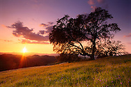 Oak tree, wildflowers, and grass at sunset, Mt. Diablo State Park, Contra Costa County, CALIFORNIA