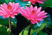 Waterlily, Hawaii, USA<br />