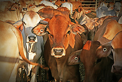 Brahman cattle in the Broome sale yards.