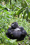 Peacemaker is the oldest Silverback of the Bitukura (Red) Mountain Gorilla (Gorilla beringei beringei) group. The Bitukura group has 14 gorillas in total and is in the Bwindi Impenetrable National Park in South West Uganda. It is 1 of 2 places in the world where the Mountain Gorilla is found.