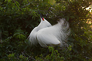 Stock Photo of Snowy Egret captured in Florida.  Egrets nest in trees, bushes and marshes.