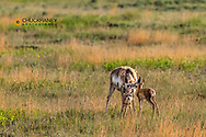 Mother Pronghorn antelope with fawns in Powder River Country, Montana, USA
