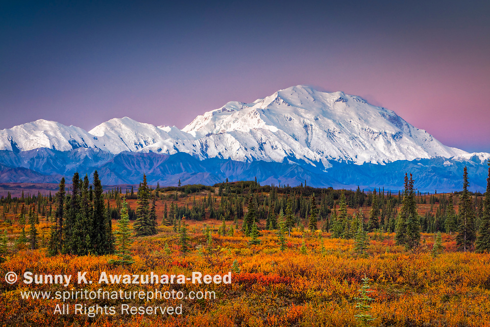 Mount Denali (McKinley) at dawn. Fall color tundra in the foreground. Denali National Park & Preserve, Interior Alaska, Autumn.