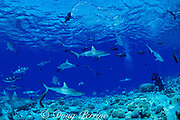 gray reef sharks, Carcharhinus amblyrhynchos, and diver, Bikini Atoll, Marshall Islands, Micronesia ( Pacific Ocean )