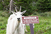 A mountain goat stays behind the sign forbidding people in the area in Glacier National park in Montana. Missoula Photographer, Missoula Photographers, Montana Pictures, Montana Photos, Photos of Montana