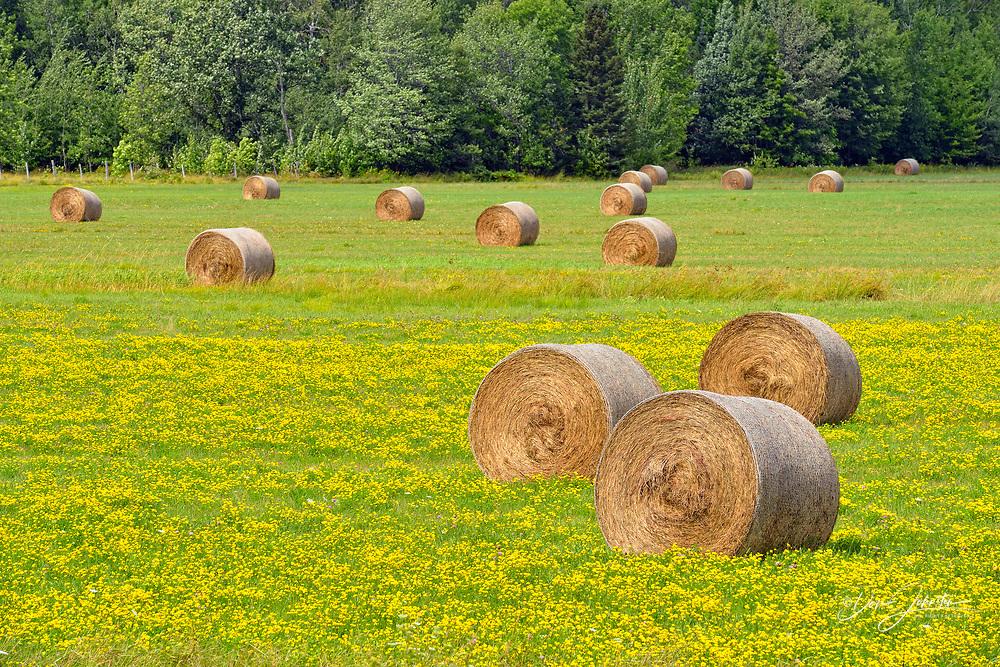 Hay rolls lying in a field with flowering birdsfoot trefoil, Sault Ste. Marie, Michigan, USA
