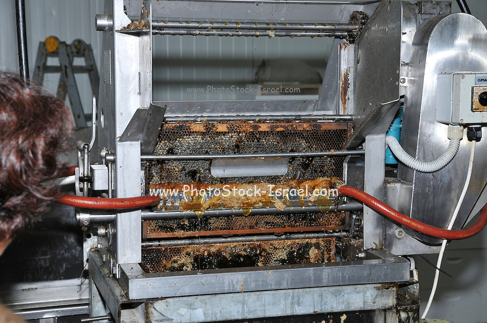 Extracting honey from beehive honeycomb frames.