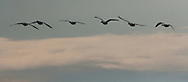 silhouetted Snow Geese (Chen caerulescens) fly in formation while wintering at Fir Island in the Skagit River Delta at Puget Sound in Washington state, USA.
