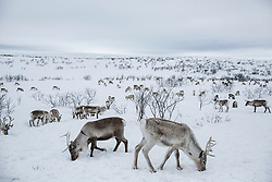Kautokeino, Norway-April 5, 2018: Jovsset Ante Sara's reindeer graze on the tundra. Jovsset feeds them a few times a week at this time of year when the area has been grazed upon most of the winter and the reindeer are anxious to begin their spring migration. The Sami people, the only recognized indigenous group in Europe who inhabit the area of northern Norway, Sweden, Finland and the oblast peninsula of Russia are perhaps best known for their traditional livelihood of reindeer herding. Although in Norway the Sami were granted rights and protections to their ancestral land in order to herd reindeer, their livelihood is being threatened by energy and mining projects as well as restrictions on their herd population by the Norwegian government who sites overgrazing on the tundra as their objective for regulating the reindeer population. Herders such as Jovsset Ante Sara and the Eira family have challenged the government as well as industrial companies in an effort to preserve their way of life. <br /> <br /> BIO: Nadia Shira Cohen is a freelance photographer, writer and videographer contributing to the New York Times, National Geographic, Harpers and many international publications as well as working with non-profit organizations. Nadia was born in Boston in 1977. At 15 she received her first camera, in the same moment she was diagnosed with cancer. She began to make self-portraits to document the physical and emotional evolution of being sick as well as to photograph her fellow oncology patients at Mass General Hospital in Boston. She is a World Press Photo winner and her work has been exhibited internationally in The United States, Russia, Belgium, Spain, Mexico, Italy, and Peru. She is an IWMF Fellow and a Pulitzer Center on Crisis Reporting grant recipient for her work on gold mining in Romania. <br /> <br /> WEBSITE: nadiashiracohen.com<br /> INSTAGRAM: @nadiashiracohen