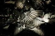 palomas arrebatándose por comida